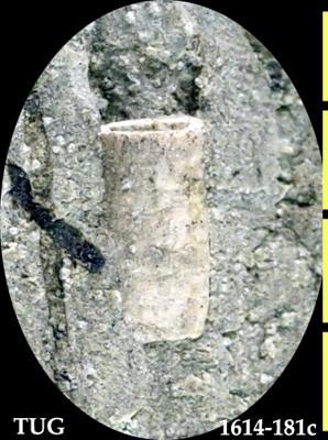 Astrorhizacea