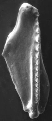 <i>Polychaetaspis tuberculatus Kielan-Jaworowska, 1966</i><br />Apraksin Bor 17 borehole, Leningrad Oblast, 105.50 m, Keila Stage
