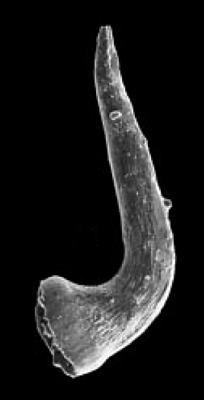 Semiacontiodus sp. A Viira, 2001, GIT 342-43