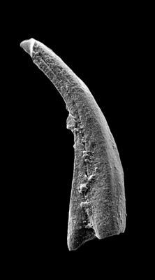 Panderodus sulcatus (Fåhraeus, 1966), GIT 449-48