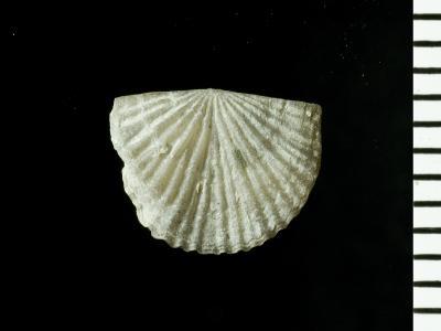 Skenidioides hymiri Baarli, 1995, GIT 128-41