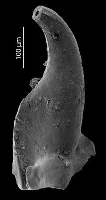Skalenoprion sp. 1, GIT 724-65