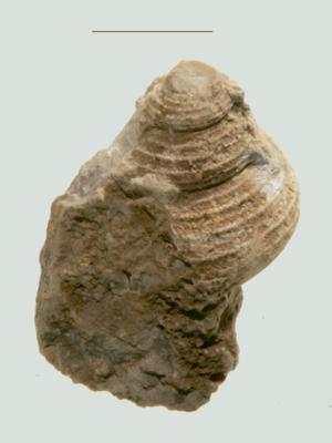 Eunema rupestre var sulcifera Eichwald, ELM G8:198