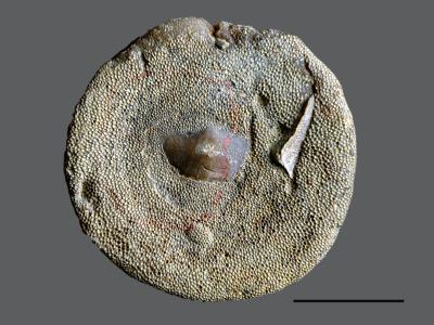 Stigmatella massalis Bassler, 1911, GIT 105-13
