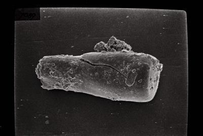 <i><i>Conochitina claviformis</i> | Conochitina cf. tuba</i><br />Ohesaare borehole, 303.30 m, Jaani Stage ( 754-124)