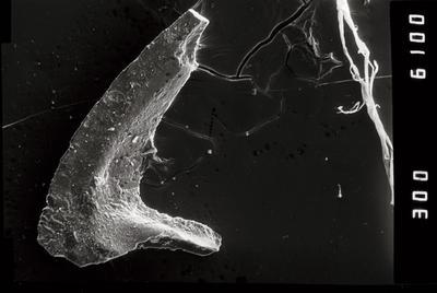 Tripodus sp., GIT 796-92