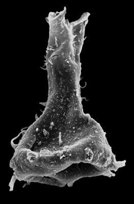 <i><i>Ramochitina</i> | Ramochitina sp. B Loydell et al., 2010</i><br />Kolka 54 borehole, 459.10 m, Jaagarahu Stage ( 546-90)
