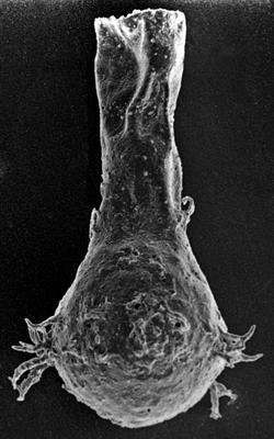 <i><i>Ancyrochitina convexa</i></i><br />Ruhnu 500 borehole, 536.00 m, Raikküla Stage ( 213-1)