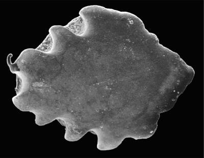 Goniporus alatus (Gross, 1947), GIT 232-275
