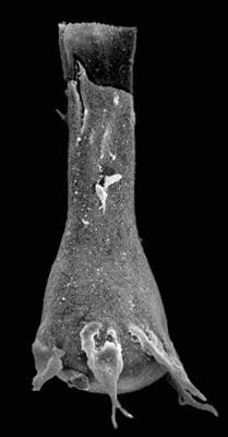 <i><i>Plectochitina magna</i></i><br />Kaugatuma 509 borehole, 244.20 m, Adavere Stage ( 427-27)