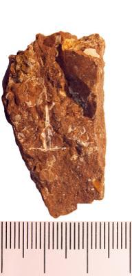 Lonchodomas rostratus (Sars, 1835), TUG 1110-91
