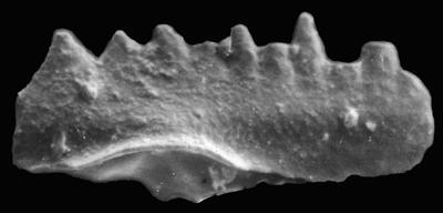 Ozarkodina aff. bohemica (Walliser, 1964), GIT 371-35