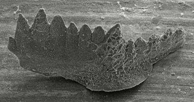 Kockelella manitoulinensis (Pollock, Rexroad et Nicoll, 1970), GIT 254-30