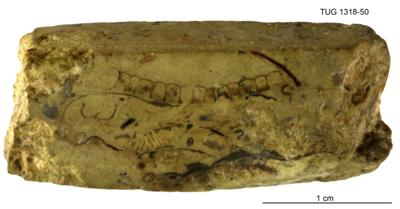 Mastopora concava Eichwald, TUG 1318-50