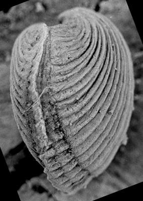 Wysogorskiella litviensis Hints, 1975, GIT 207-78
