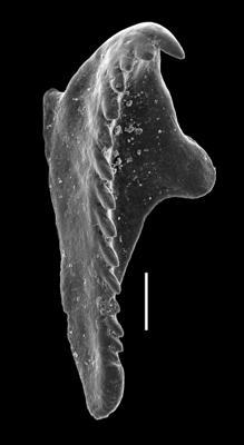 <i>Oenonites sp.</i><br />Paatsalu 527 borehole, 46.43 m, Wenlock