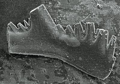 Aspelundia fluegeli ssp. n. Männik, 2007, GIT 511-44