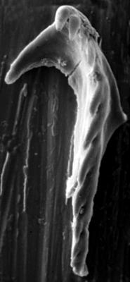 <i>Ramphoprion bialatus Hints, 1998</i><br />Hüti F-358 borehole, 134.33 m, Idavere Substage