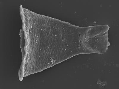 <i><i>Cyathochitina</i> | Cyathochitina sp.</i><br />Kolka 54 borehole, 601.00 m, Adavere Stage ( 754-415)