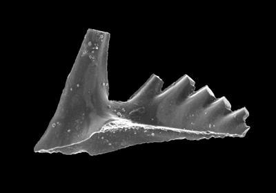 Aspelundia expansa Armstrong, 1990, GIT 301-26