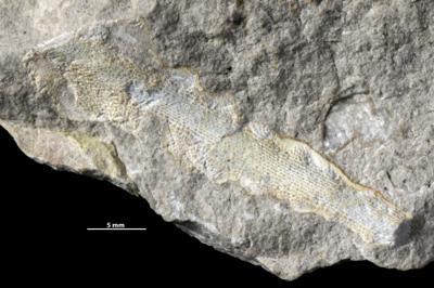 Ptilodictya flabellata Eichwald, 1860, GIT 537-2393