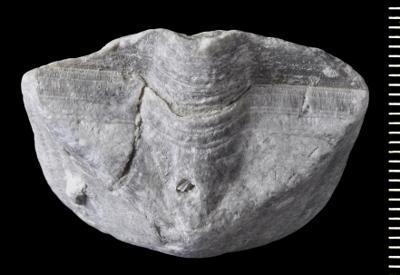 Clinambon anomalus (Schlotheim, 1822), GIT 543-56