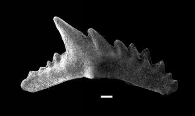 Aulacognathus cf. antiquus Bischoff, GIT 738-3