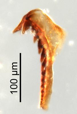 <i>Oenonites sp.</i><br />Qusaiba 1 borehole, 484.70 m, Upper Ordovician