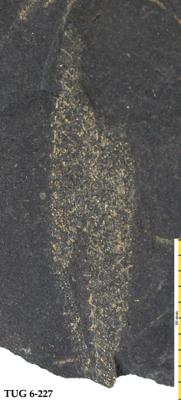 Retiolites sp., TUG 6-227