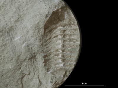 Asaphus sp., GIT 453-752