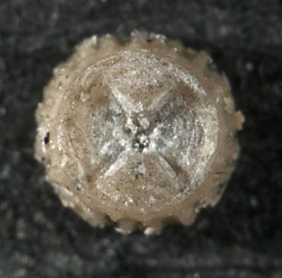Cystoidea