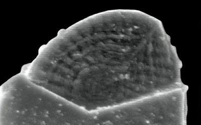 Ozarkodina excavata puskuensis Männik, 1994, GIT 254-46