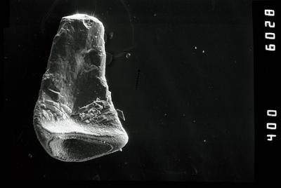 Juanognathus sp., GIT 796-63