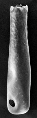 <i><i>Conochitina iklaensis</i></i><br />Ikla borehole, 492.00 m, Raikküla Stage ( 213-5)