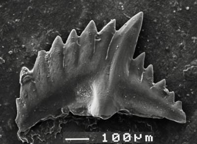 Pterospathodus eopennatus ssp. n. 1 Männik, 1998, GIT 511-9
