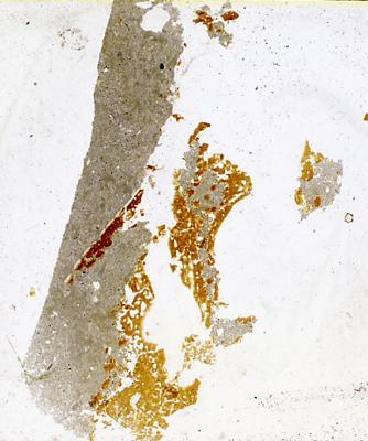Dartmuthia gemmifera Patten, 1931, TUG 267-75