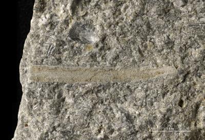 Ptilodictya sp., GIT 403-48