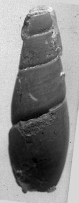 Subulites aff. revaliensis Koken, TUG 1053-7