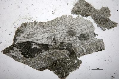 Eridotrypa aedilis (Eichwald, 1860), GIT 537-740