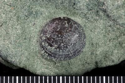 Linguliformea