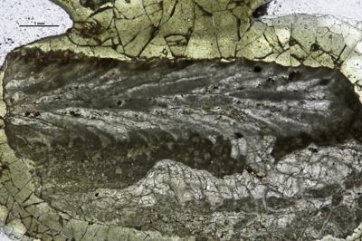 Eridotrypa aedilis (Eichwald, 1855), GIT 537-1009