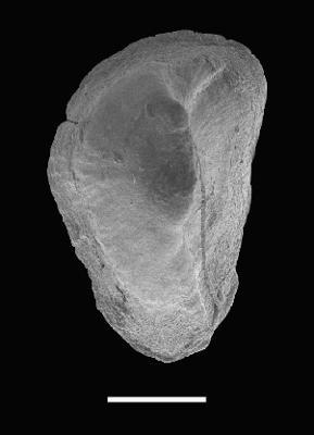 Pseudooneotodus linguicornis Jeppsson, 2003, GIT 566-30