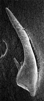Coryssognathus dubius (Rhodes, 1953), GIT 185-62