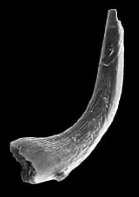 Semiacontiodus sp. A Viira, 2001, GIT 342-42