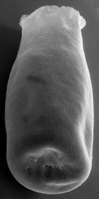 <i><i>Chitinozoa</i> | Conochitina sp. 5 Nestor, 1984</i><br />Vängla trench,  m, Adavere Stage ( 223-24)