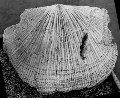 Reuschella magna Hints, 1975, GIT 207-105