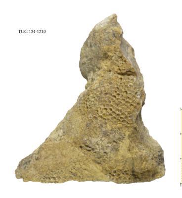 Paleofavosites alveolaris, TUG 134-1210