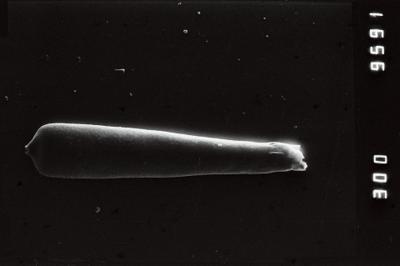 <i><i>Conochitina proboscifera</i></i><br />Jaagarahu borehole, 32.70 m, Jaani Stage ( 754-217)