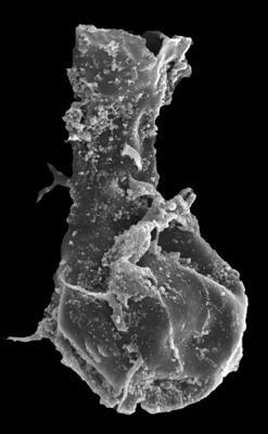<i><i>Ramochitina spinosa</i></i><br />Kolka 54 borehole, 514.00 m, Jaagarahu Stage ( 546-63)