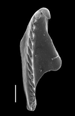 <i>Oenonites varsoviensis (Kielan-Jaworowska, 1966)</i><br />Viru Mine, 12/28, 0.00 m, Uhaku Stage
